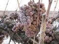Northwest: Cold Snap Speeds Ice Wine Harvest