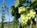 Hop shortage threatens craft beer