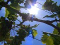 Why Australians are using sunblock to protect grape crops