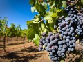 Russia's Largest Wine Producer Expanded Its Territory by 40%