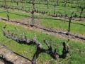 Can Sonoma County Dry-Farm Grapes?