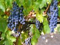 Napa Valley wine region bounces back with 'extraordinary' 2014 vintage