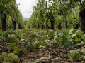 Severe Hail Hastens Harvest in Chablis