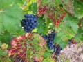 What kind of parents are grapevines? (Or, do higher yields mean lower quality?)