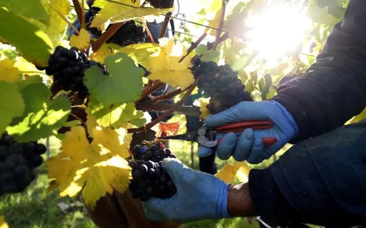 Bumper year for English wine as figures show it is now £130m industry